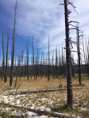 Fire didn't kill these. Rather, rather geothermal activity heated the ground, cooking the pines.