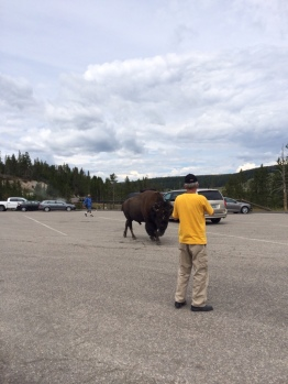 The bison almost did him in for being too familiar.